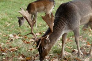 What are the Best Devices for Deer Calls?