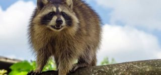 How to Get Rid of Raccoons at Deer Feeder Stations