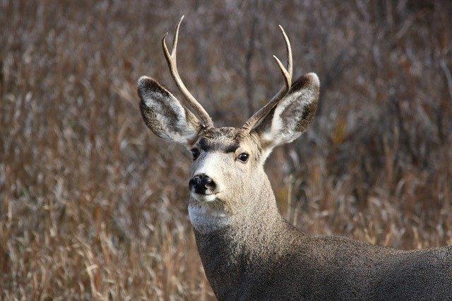 What is a mule deer?