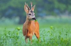 Hunting With Baits: What Do Deer Eat