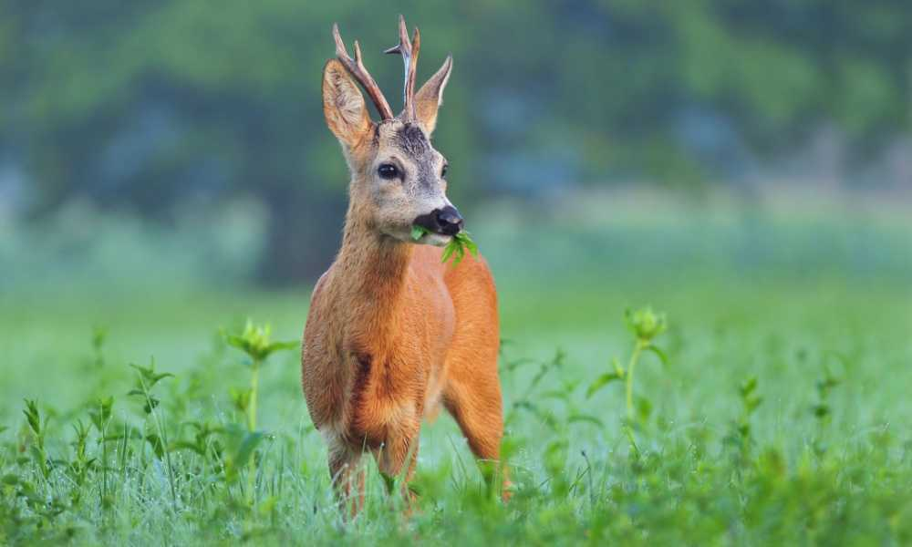 Hunting With Baits What Do Deer Eat