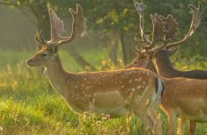 Fallow Deer Information And Origins