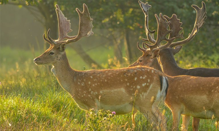 Fallow deer facts and information