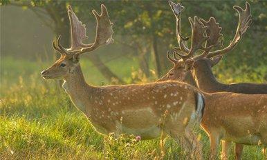 Fallow deer information
