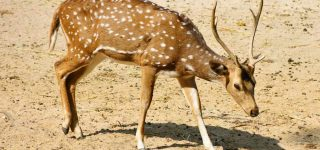 All About Sika Deer (Cervus Nippon) Species