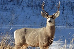 All About Black Tailed Deer