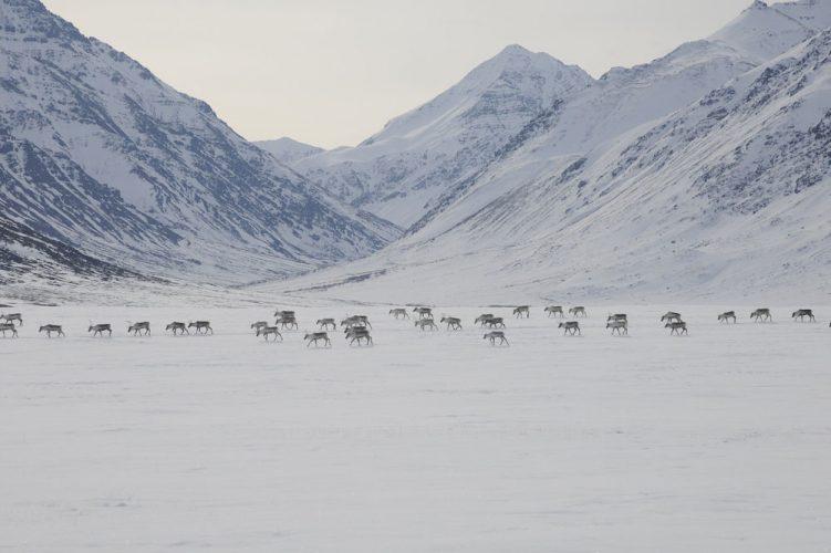 caribou deer