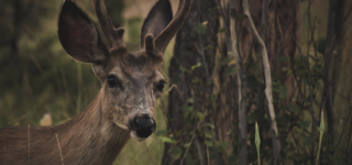 Finding a Deer in the Wild: Few Basic Ways to See Them