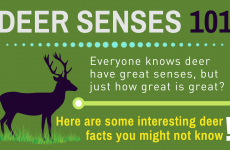Deer Sense 101 – Know Their Senses, Sight, Smell & Hearing