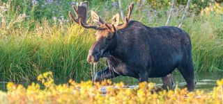 Getting To Know More About Moose Habits
