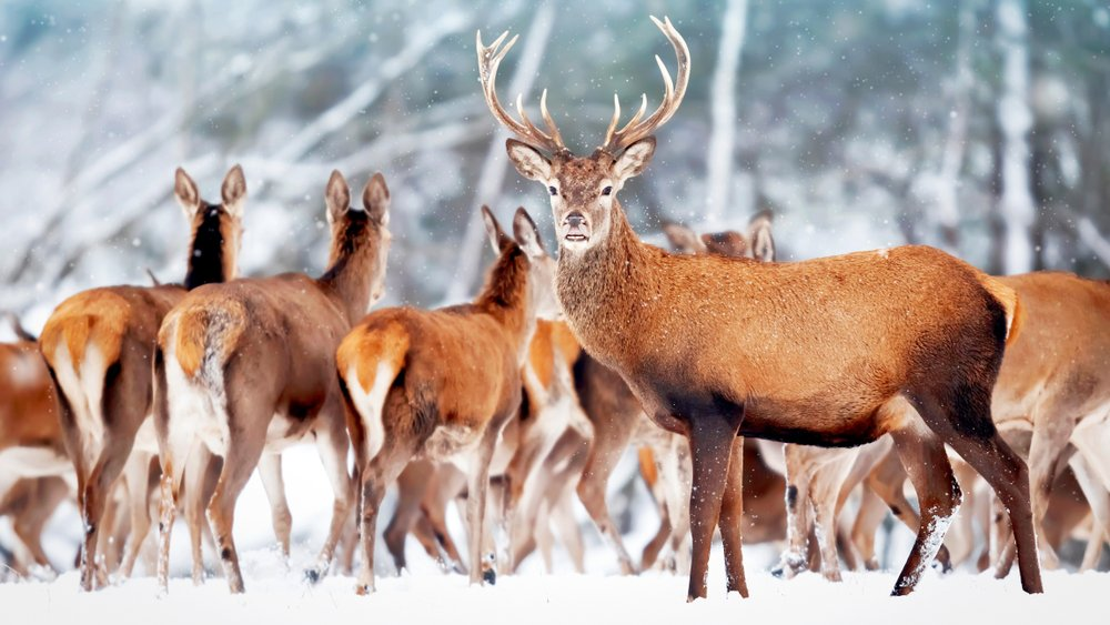 types of deer in the woods