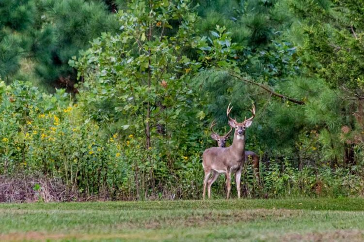 Watch Out For EHD Deer Outbreaks